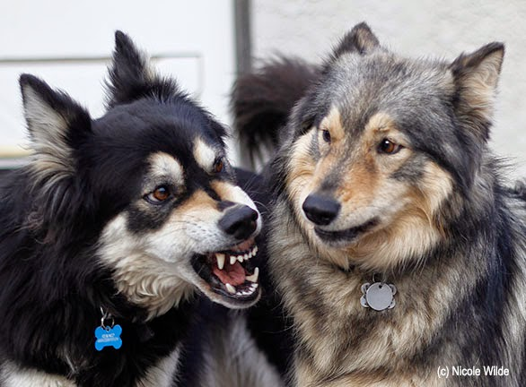 cachorro+agressivo
