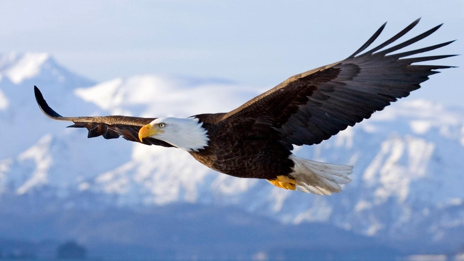 águia - foco e disciplina