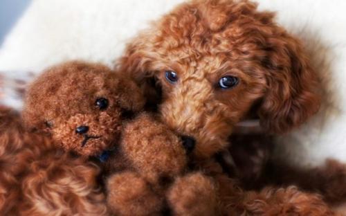 cão-bicho de pelúcia