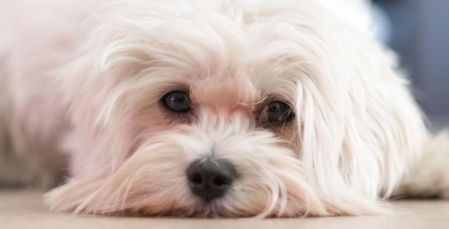 Como ensinar o cãozinho a fazer as necessidades no lugar certo
